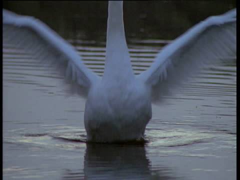 Swan flaps wings on lake, UK