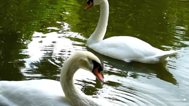 vídeos de stock e filmes b-roll de cu : swan floating on a lake - reserva selvagem