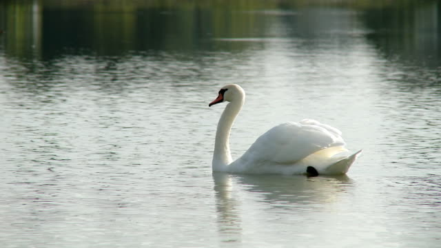hd: flottanti su un lago swan - cigno video stock e b–roll