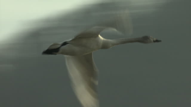 a swan flying off lake, nagano, japan - cigno video stock e b–roll