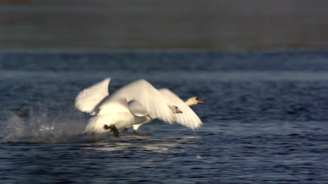 swan flying slo mo - cigno video stock e b–roll