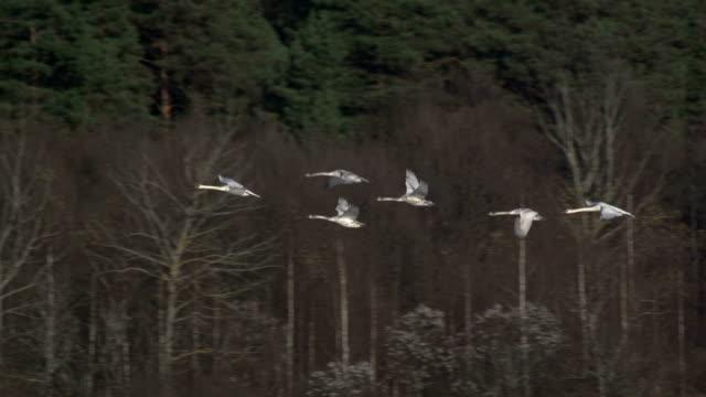 Swan flying slo mo