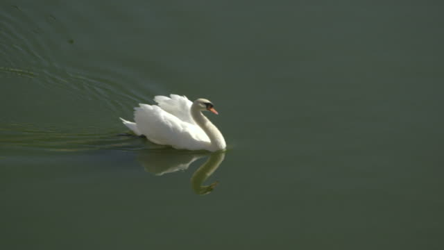 a swan glides across a lake. - cigno reale video stock e b–roll