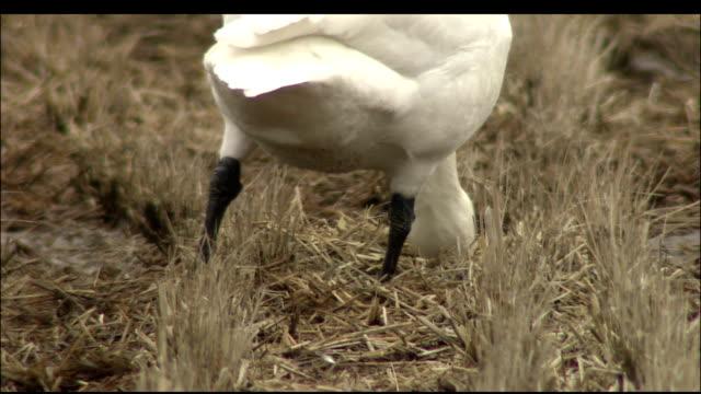 vídeos y material grabado en eventos de stock de swan grazing in dried winter paddy field, izunuma, miyagi prefecture, japan - cuello de animal