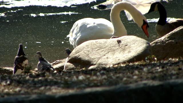 vídeos y material grabado en eventos de stock de swan acicalarse - cuello de animal