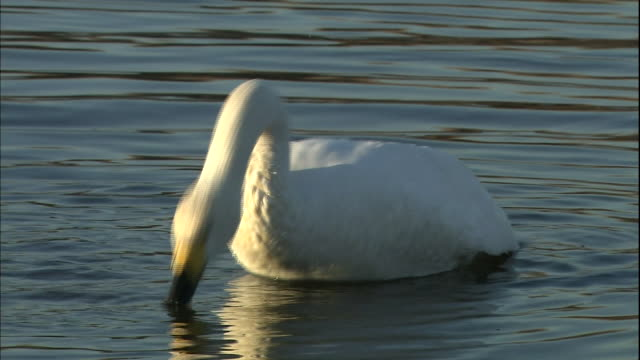 A swan grooms and preens.