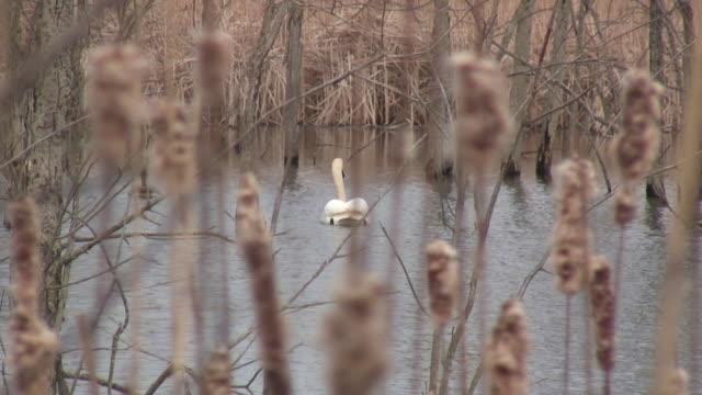 swan-hd 1080 60i / - wasservogel stock-videos und b-roll-filmmaterial