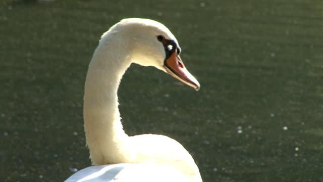 vídeos y material grabado en eventos de stock de swan, cabeza y cuello - cuello de animal