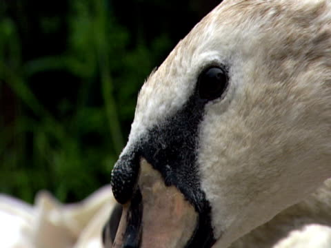 Swan , head