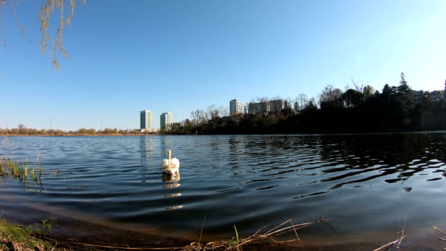 swan in high park toronto canada - tall high stock videos & royalty-free footage