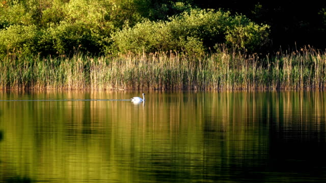 swan in lake - reed grass family stock videos and b-roll footage