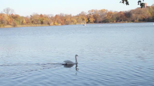 a swan in prospect park, brooklyn - gruppo medio di animali video stock e b–roll