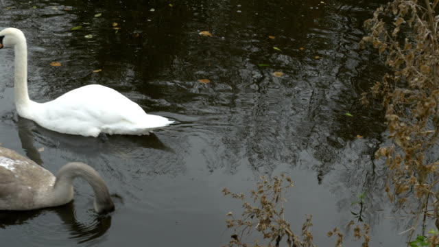 swan in river - river lagan stock videos & royalty-free footage