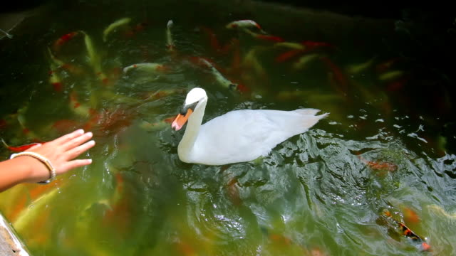 swan in the koi fish pond - swan stock videos and b-roll footage