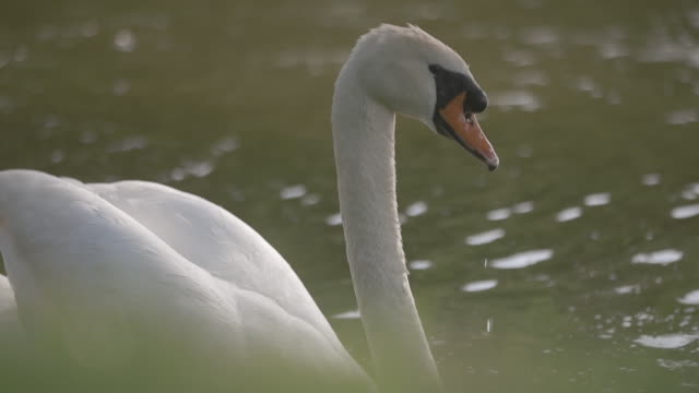 Swan in the lake of the castle of Fontainebleau. Close shot.
