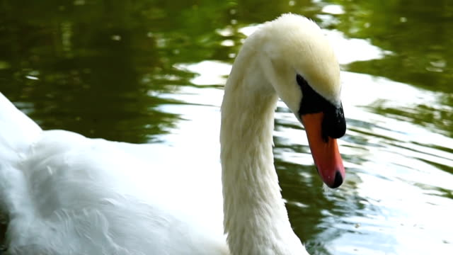 cu : swan in the lake - cigno video stock e b–roll