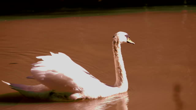 swan in the lake - lago stock videos & royalty-free footage