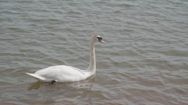 swan in the lake - cigno video stock e b–roll