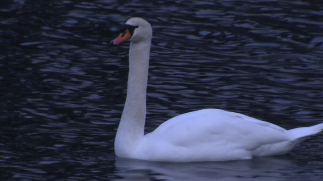 swan in the moat of imperial palace, tokyo - mute swan stock videos & royalty-free footage