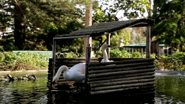 Swan är vackra och fantastiska fågel, par svanar i park