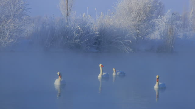 swan lake in a frozen winter in west china - water bird stock videos & royalty-free footage