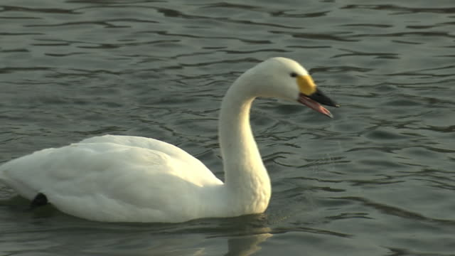 a swan looking for baits in lake, nagano, japan - cigno video stock e b–roll