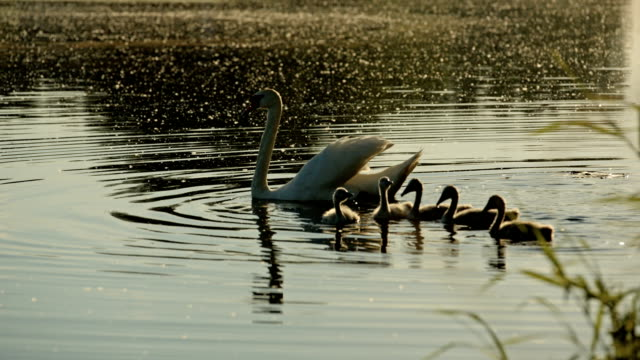 A swan mother with five baby swans on the Wernsdorfer lake near Berlin
