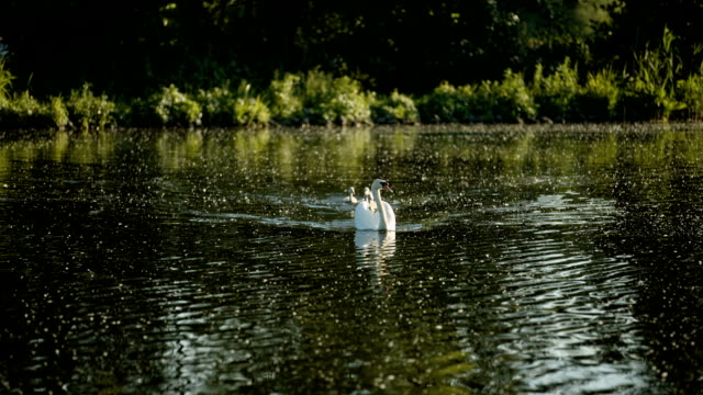 a swan mother with five baby swans on the wernsdorfer lake near berlin - cygnet stock videos & royalty-free footage
