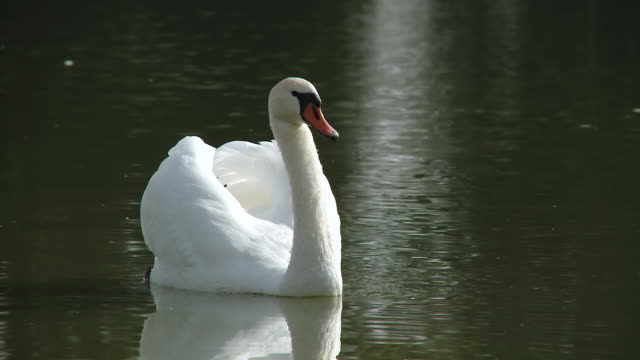 hd: swan su un lago - cigno video stock e b–roll