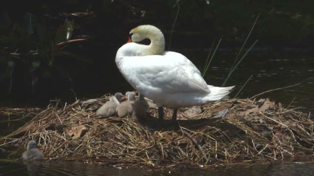 swan on her nest with six cygnets - mute swan stock videos & royalty-free footage