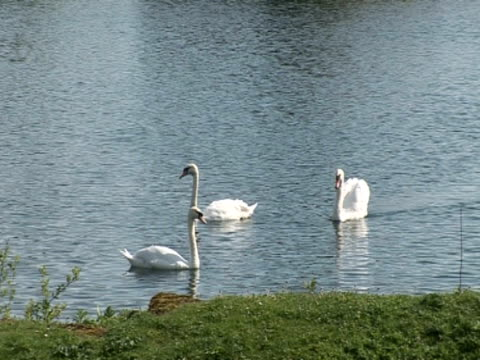 vidéos et rushes de swan on lake, glistening sun, peaceful, tranquil, togetherness, protection - cygne tuberculé