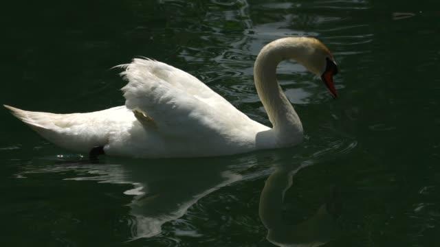 swan on lake in kyrgyzstan. - mute swan stock videos & royalty-free footage