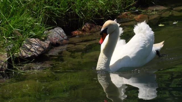 swan on lake in kyrgyzstan. - swan stock videos & royalty-free footage