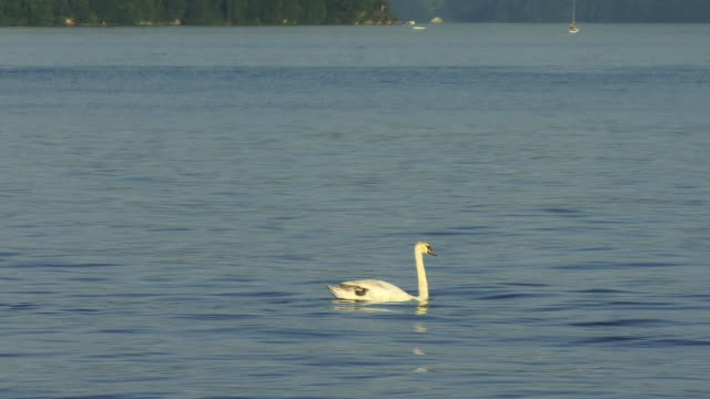 zo, ws, swan on lake lucerne with mountains in background lucerne, switzerland - lake lucerne stock videos & royalty-free footage