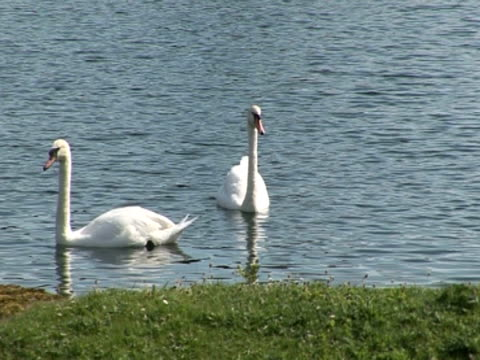 vidéos et rushes de swan on lake, peaceful, tranquil, togetherness, protection - cygne tuberculé