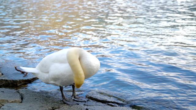 vídeos y material grabado en eventos de stock de cisne en la costa - cuello de animal