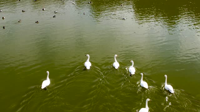 swan on the lake - anmut stock-videos und b-roll-filmmaterial