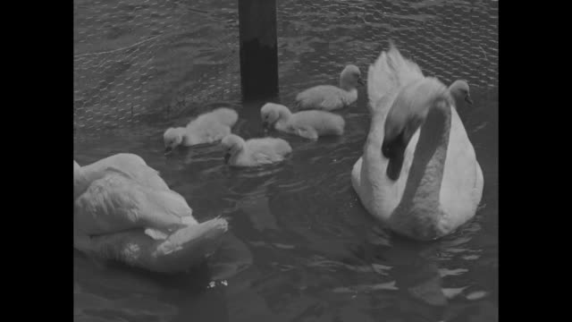 stockvideo's en b-roll-footage met swan parents and their 5 cygnets / cu cygnets swimming / cygnets follow a parent / cu adult swan / swans and ducks in pond - jonge zwaan