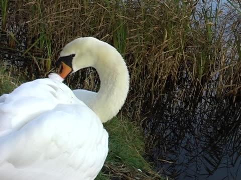 swan preening - preening stock videos & royalty-free footage
