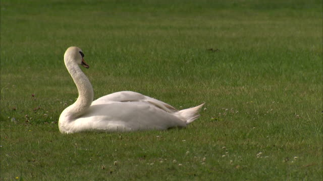 stockvideo's en b-roll-footage met a swan rests on a lawn in herefordshire, england. available in hd. - knobbelzwaan