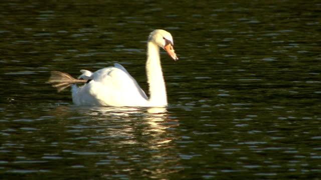 vídeos y material grabado en eventos de stock de swan swiming y cuidados - cuello de animal