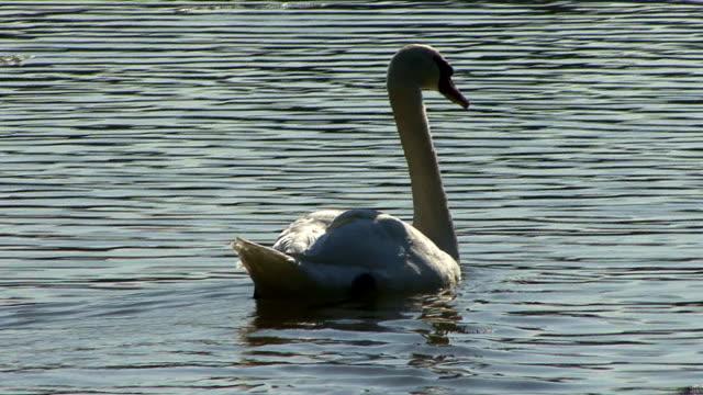 vídeos y material grabado en eventos de stock de swiming swan - cuello de animal