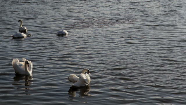 swan swimming in river - five animals stock videos and b-roll footage