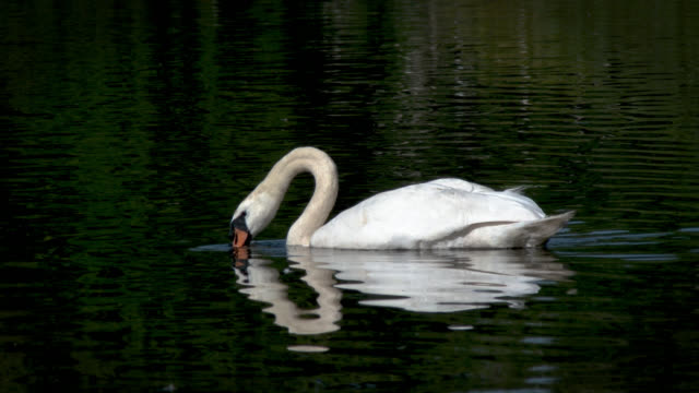 swan swimming on a loch - cigno video stock e b–roll