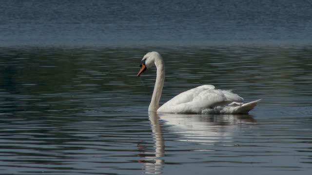 swan swimming on a loch - mute swan stock videos & royalty-free footage