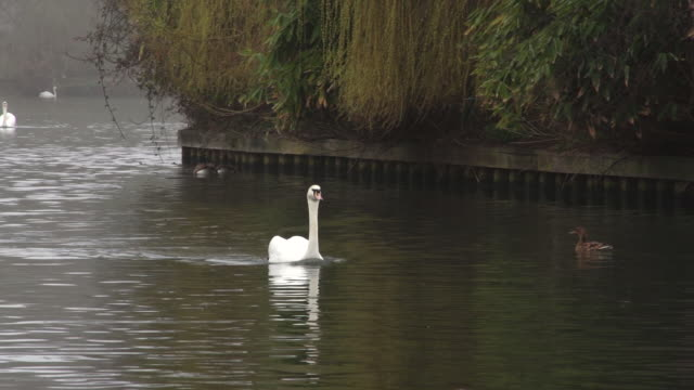 vidéos et rushes de ms ts swan swimming through several ducks swimming in water / wiltshire, england, united kingdom - wiese
