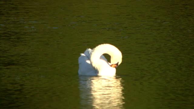 vídeos y material grabado en eventos de stock de de swan piscina - cuello de animal