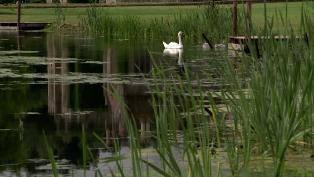 A swan swims in a pond on the estate of Hampton Court Castle. Available in HD.
