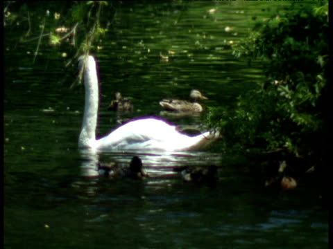 swan swims on lake amongst ducks japan - animal neck stock videos & royalty-free footage