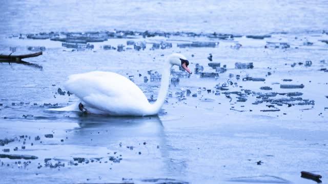 DEU: Swans Swim On Rheinparc Auensee Lake Which Is Partly Frozen